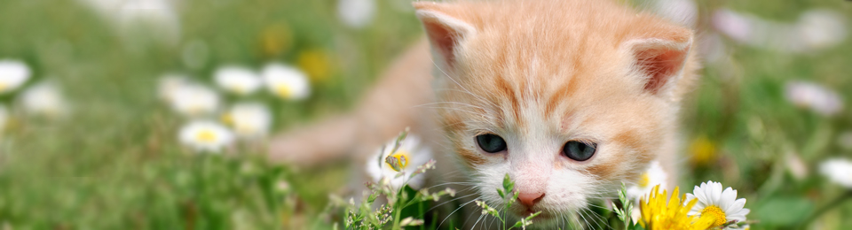 General Image - Orange Kitten in Field Left